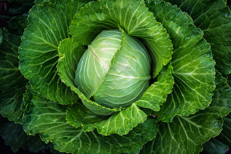 Cabbage-top-view
